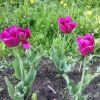 Тулпан майский